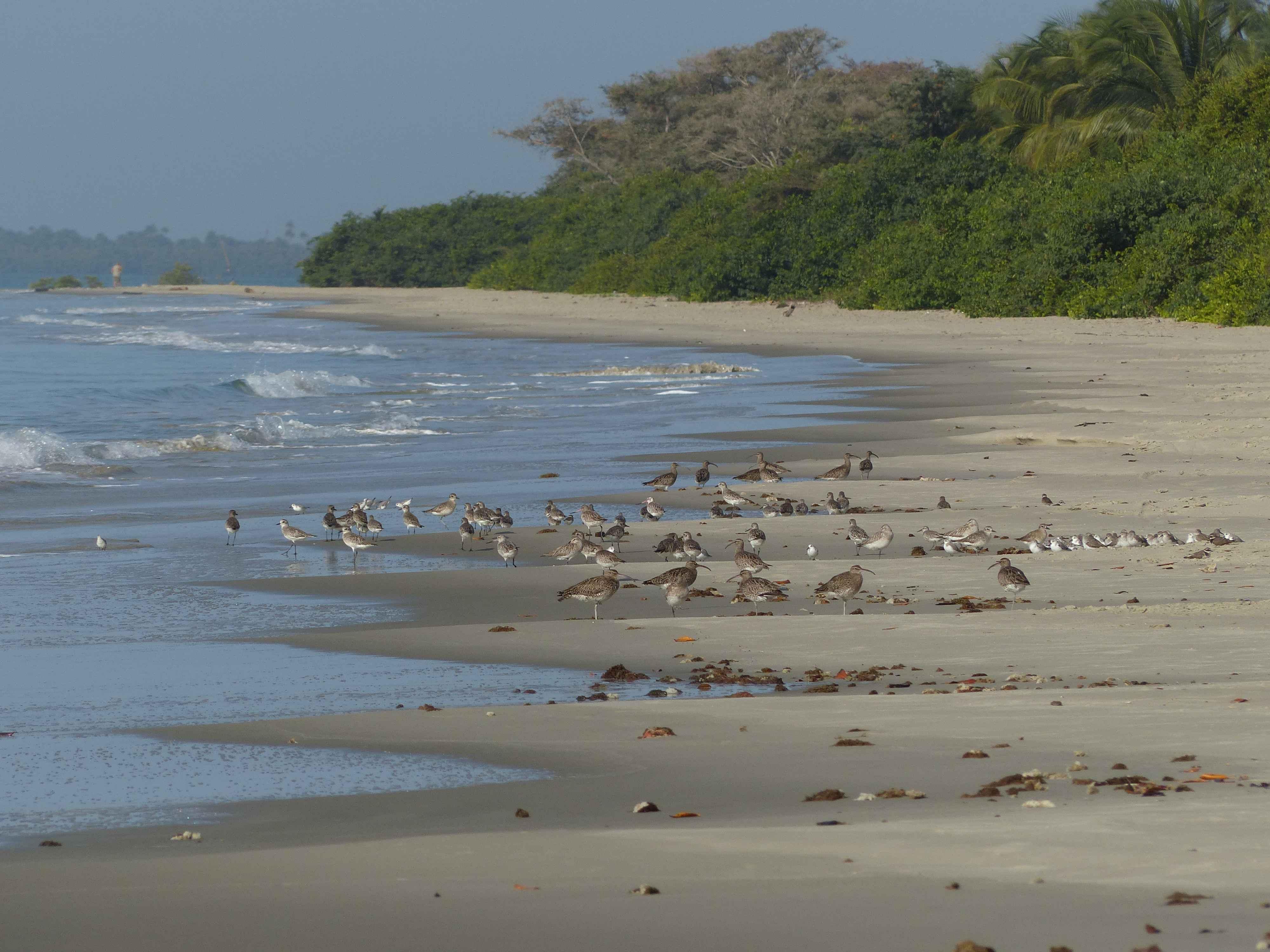 Roosting_shorebirds_Guinea_Bissau